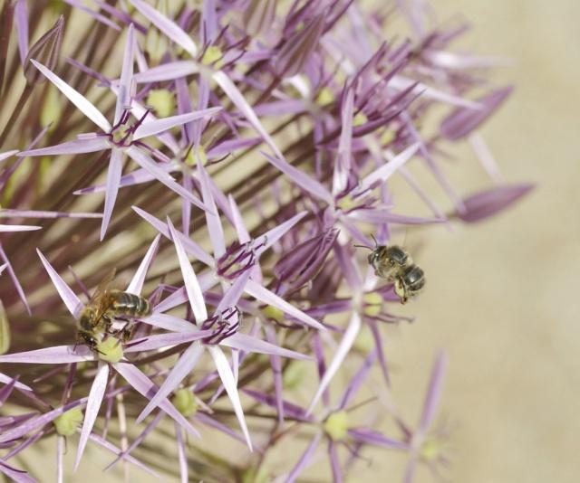 plantes mellifères : les meilleures plantes à insectes de vos jardins  - Page 2 811399ail1