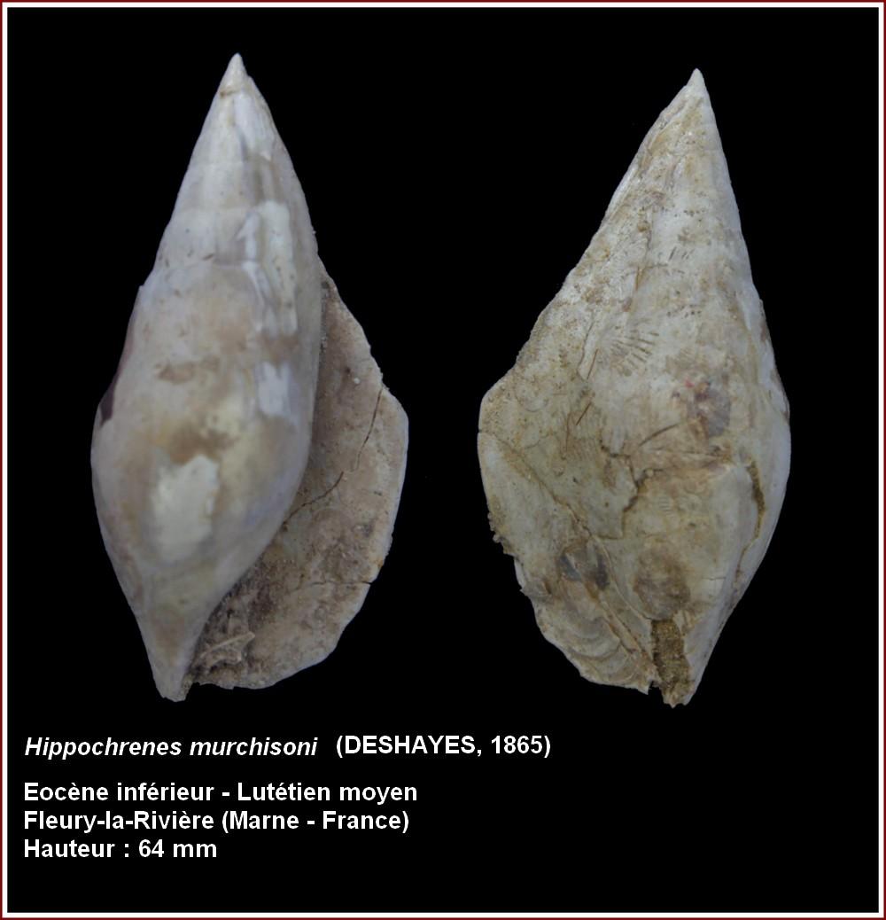 "† Strombidae fossiles de la collection ""hybodus"" - Eocène du bassin parisien 812941plmurchisoni"