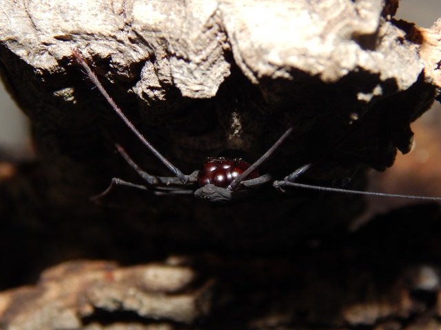 "Damon variegatus et Stygophrynus sp ""Sulawesi"". 814937DSCN0336"