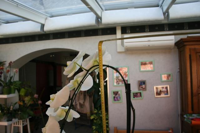 phalaenopsis blanc a fleurs enooooooooormes - Page 3 816854IMG9668