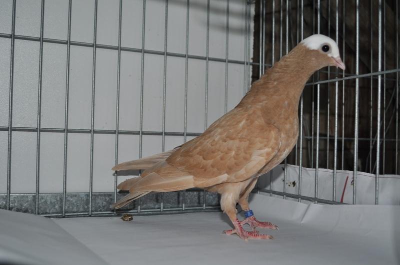 Pigeons de vol catalans à tête de moine 821969dsc0109oy