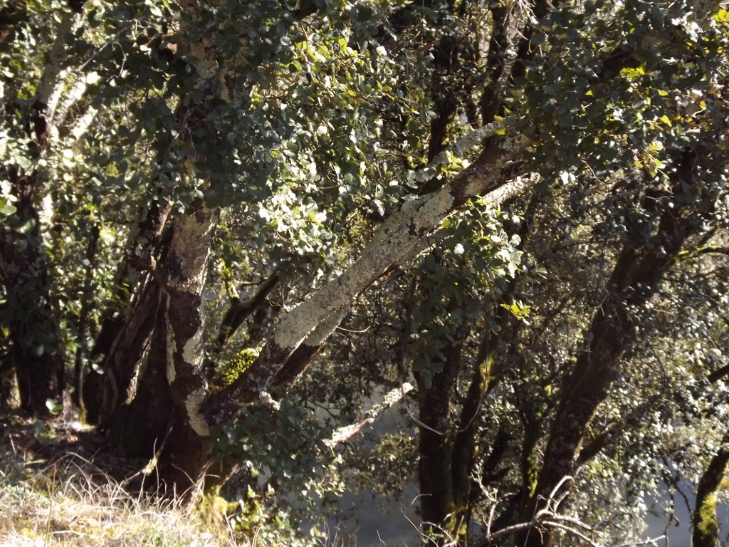 Quercus ilex - chêne vert 822596DSCF51331024x768