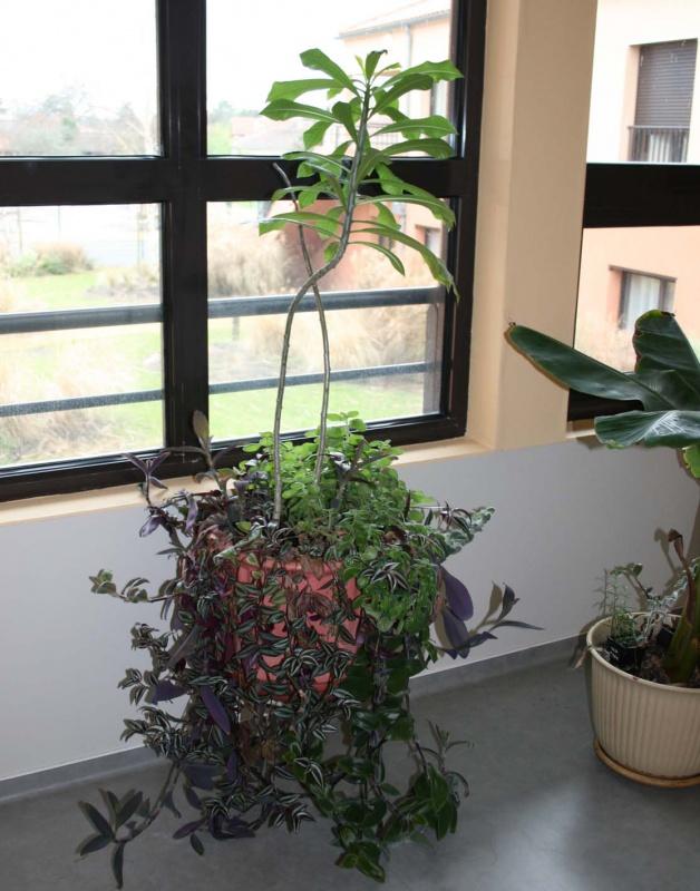Les succulentes sur mon lieu de travail 823541plumeriaettradescantia