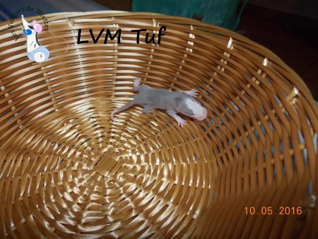 Portée 14: IND Limestone x LVM Kismi Honey 826733mleminkstandard