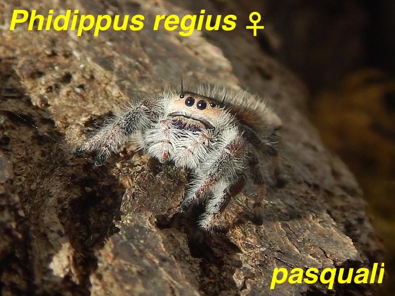 Phidippus regius... 827691RSCN4294