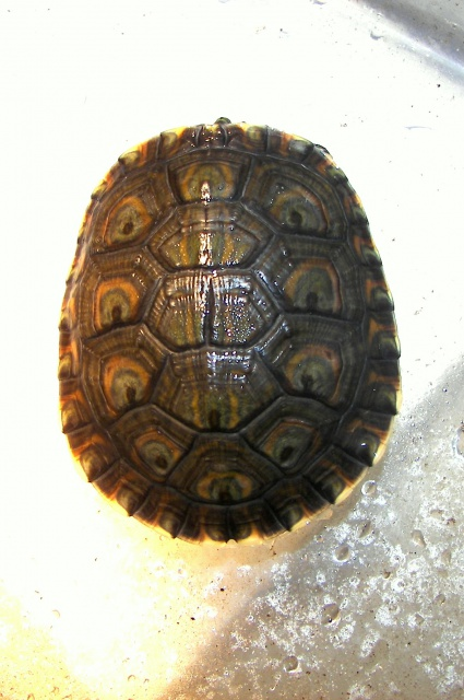 mes tortues (BK) - Page 5 8281081000017