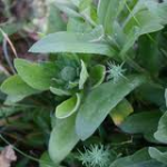 Partie Guérisseur : Les plantes de la Forêt 828397feuilledesouci