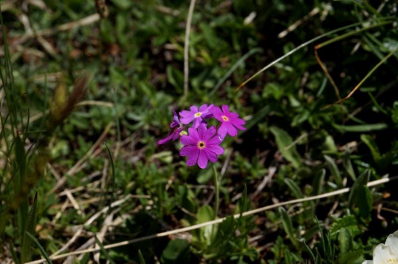 pas de carni mais de jolies plantes alpines ! 829618DSC03465