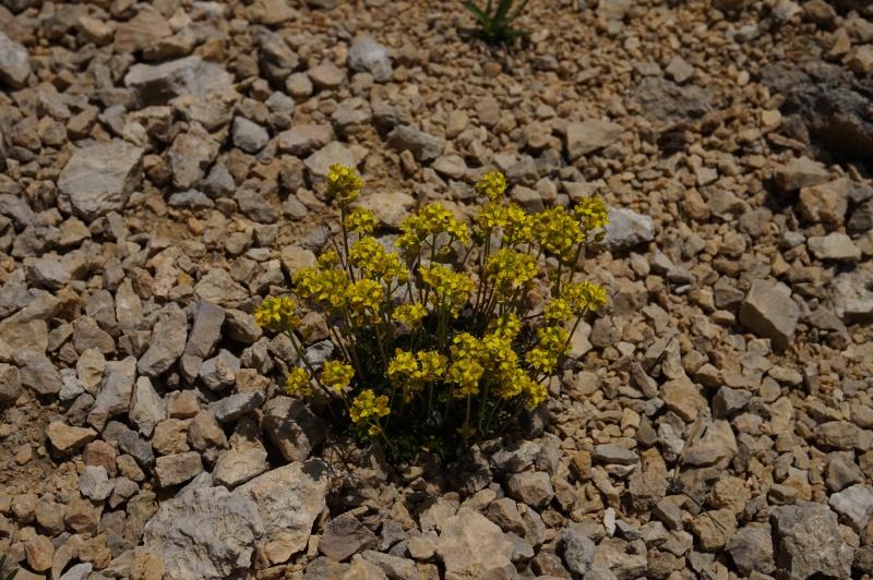 pas de carni mais de jolies plantes alpines ! 834842DSC03432