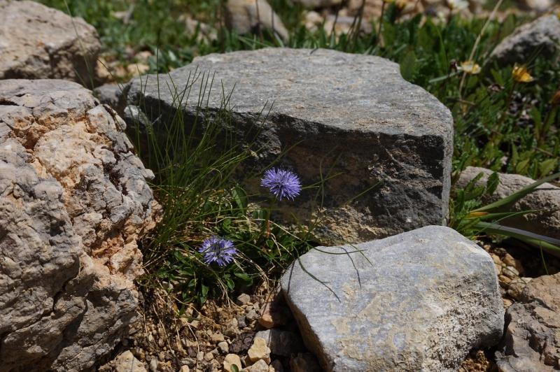 pas de carni mais de jolies plantes alpines ! 836597DSC03424