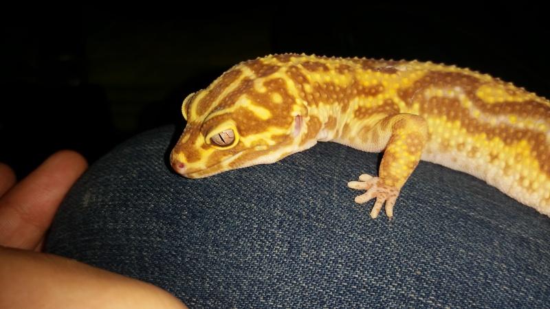 Réussir à enfin trouver sa phase... Gecko leopard F 83676920161009220213
