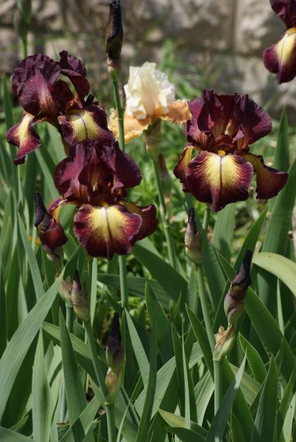Iris 'Provençal' - Jean Cayeux 1978 837136026