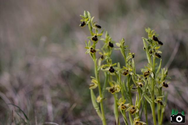 Ophrys dans le Gard 841377IMG1067
