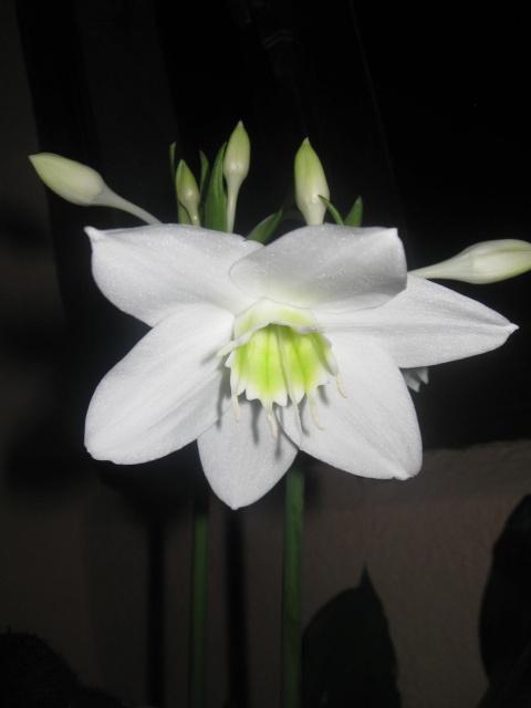 eucharis ou lys d'amazonie 844735IMG3572