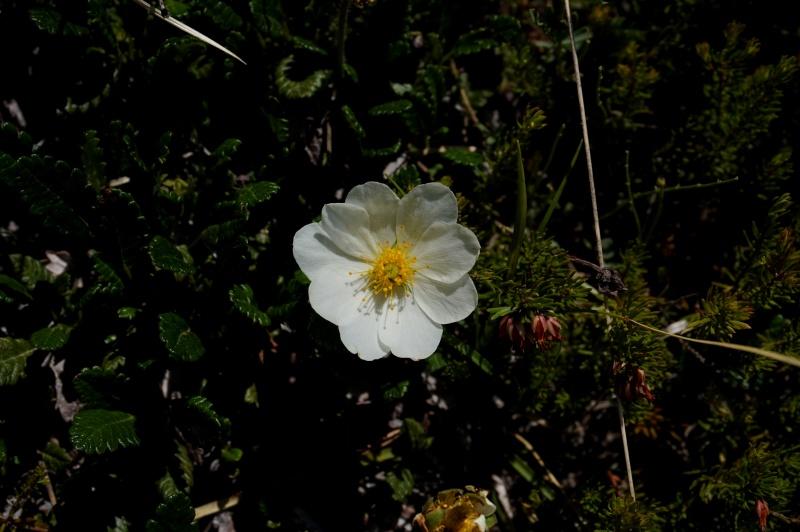 pas de carni mais de jolies plantes alpines ! 845177DSC03417