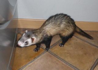 Tweety - furet mâle putoisé - adopté par Flandine 845800527511351374261614666296672569n
