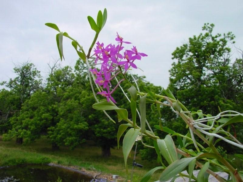 Epidendrum ibaguense 851010DSC05889800x600