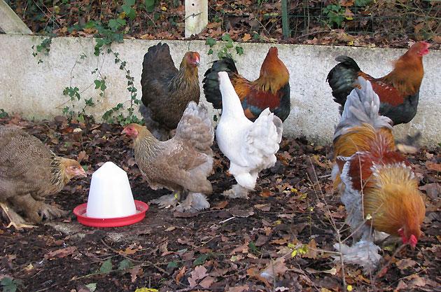 Nos poules d'ornement, des nouveaux P2 853694IMG1456