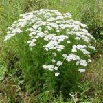 Partie Guérisseur : Les plantes de la Forêt 854413millefeuille