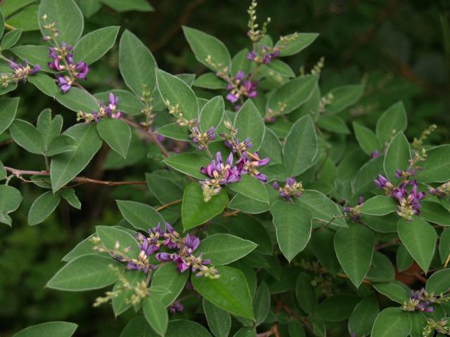 arbuste. lespedeza buergeri  856525P6033682