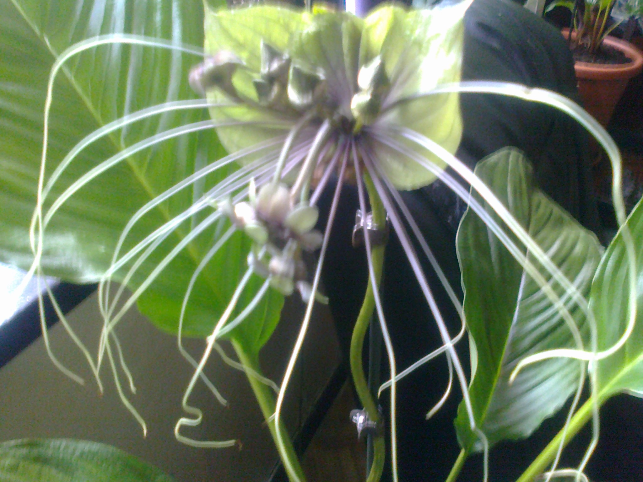 tacca green - Page 3 857190Photo0075