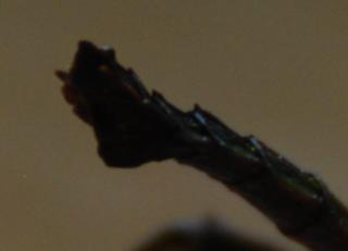 Aretaon asperrimus, Trachyaretaon brueckneri ou autre ??? 860687derriremle