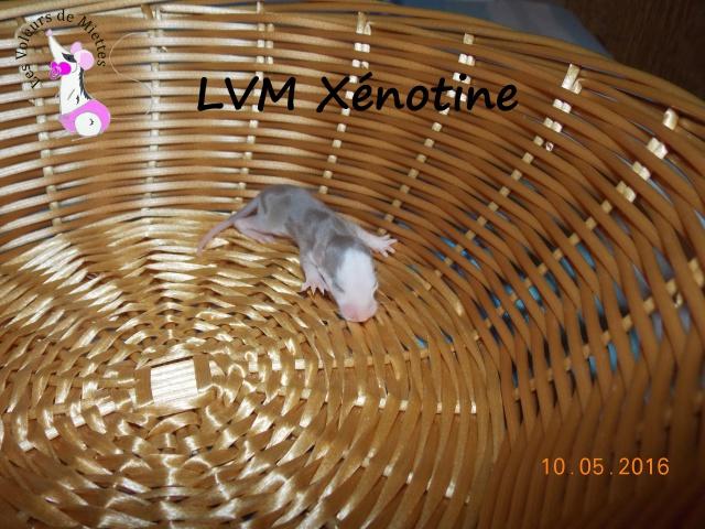 Portée 14: IND Limestone x LVM Kismi Honey 861746femelledumbomink
