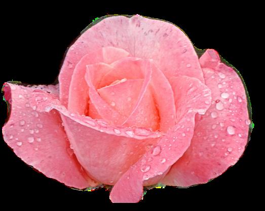 Tubes roses 862743Gibsons0k