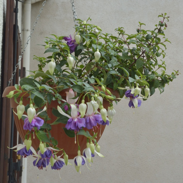 Fuchsia - espèces et variétés frileuses 865495DSC2903