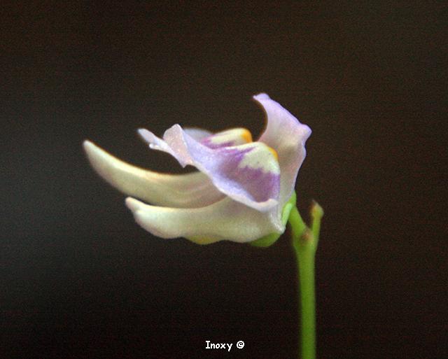 Double Fleur Utricularia Tridentata 866717UtriculaireTridentata250620141640x480
