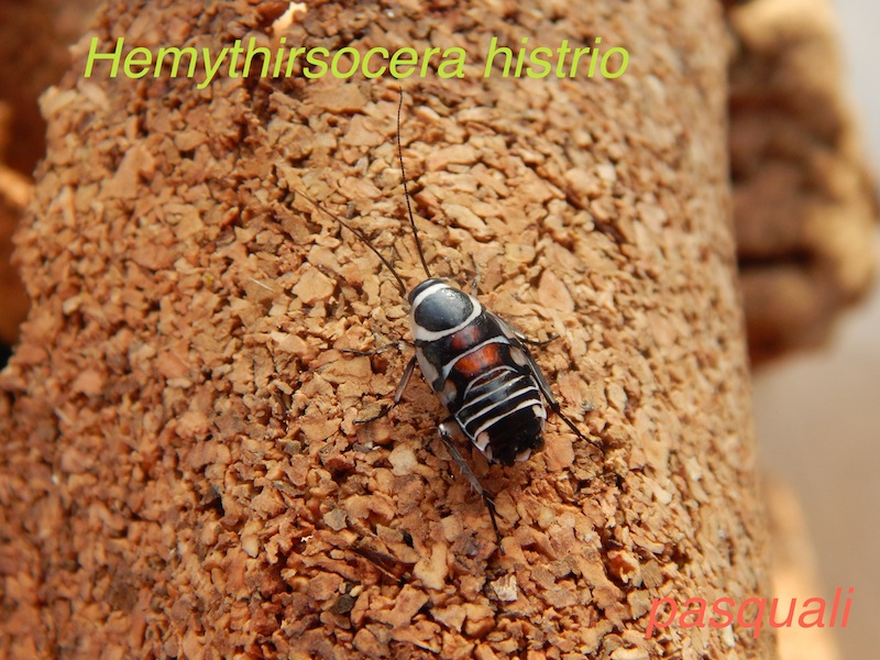 Quelques blattes. 868186DSCN1633