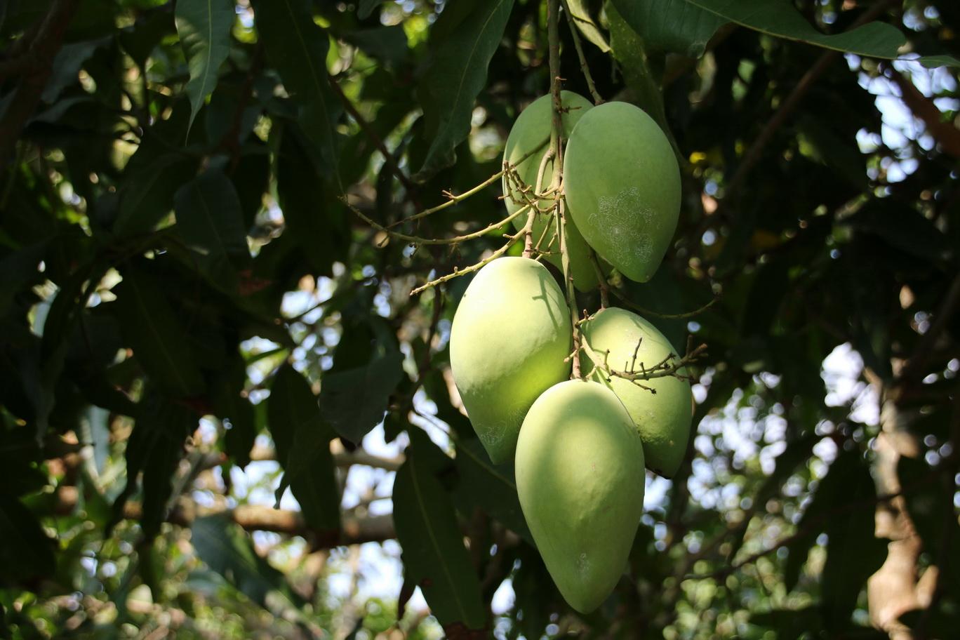 [Fil ouvert] Fruit sur l'arbre 868777IMG0656