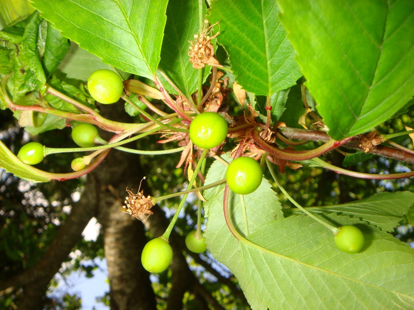 [Fil ouvert] Fruit sur l'arbre 871904DSC07883