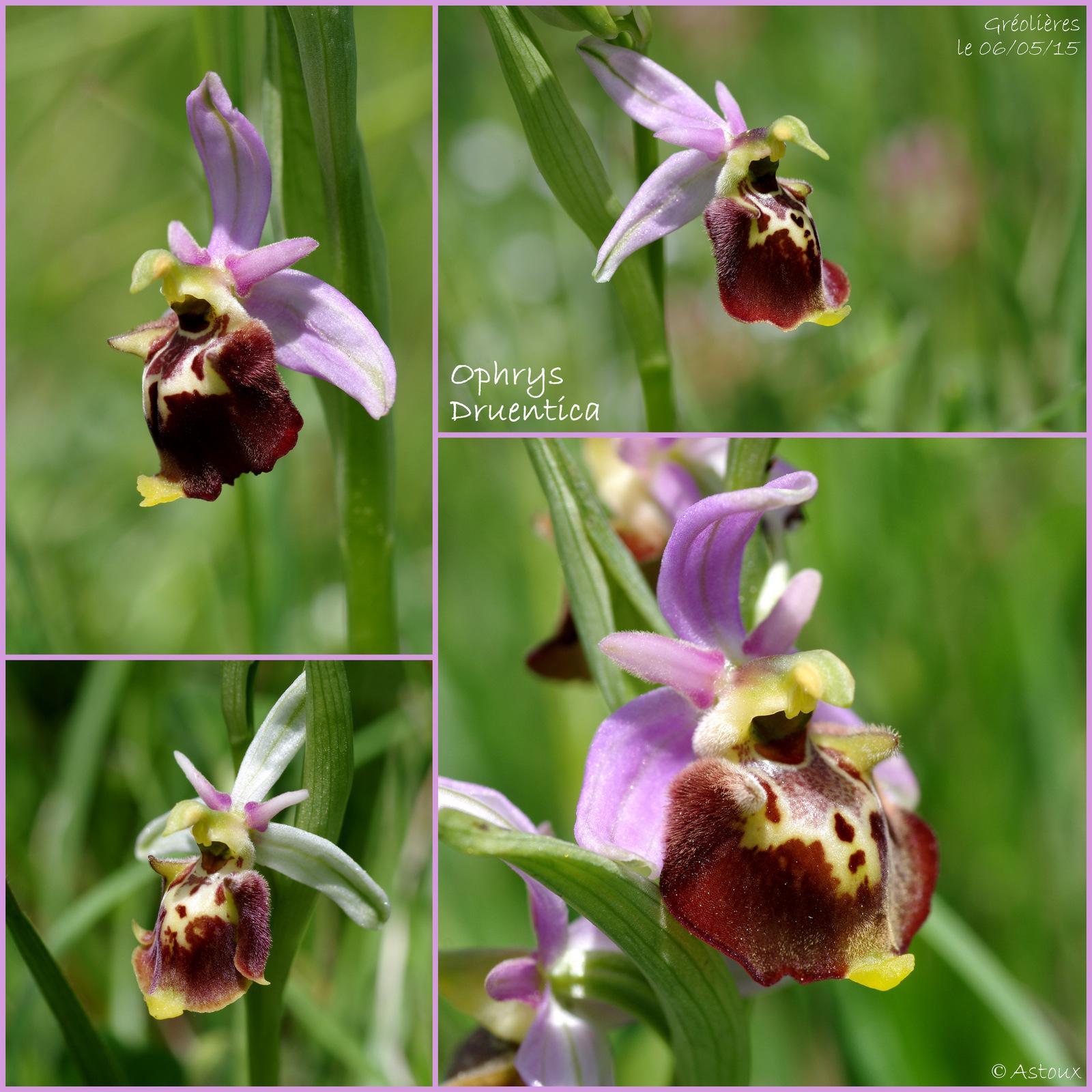 Ophrys druentica (Ophrys de la Durance) 877682SortieOrchides060515