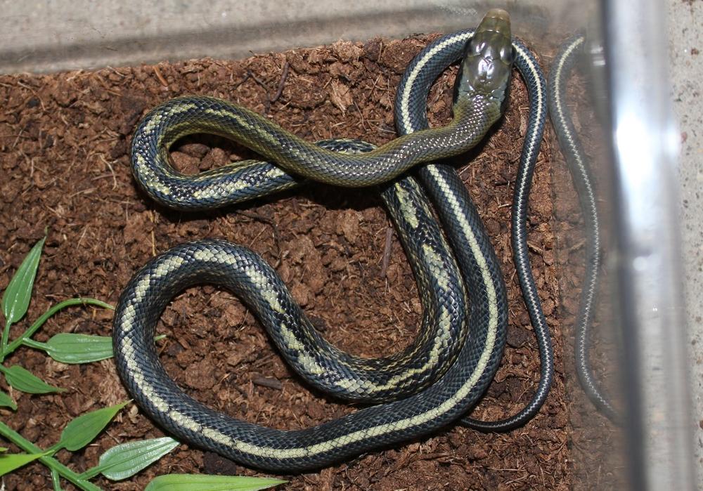 Orthriophis taeniura callicyanous 878386IMG2200r