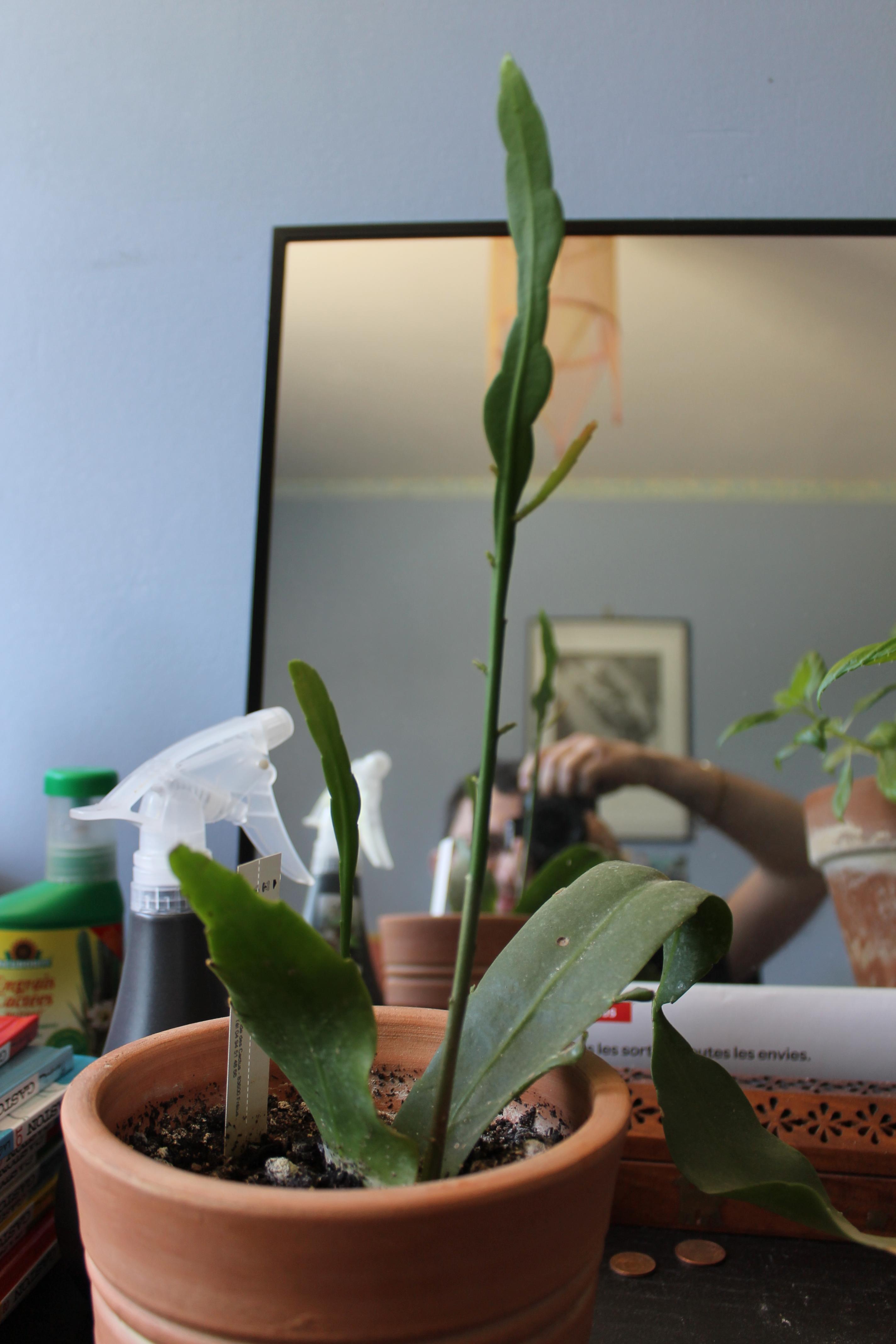 Mon Epiphyllum oxypetalum,....suite! 884049003