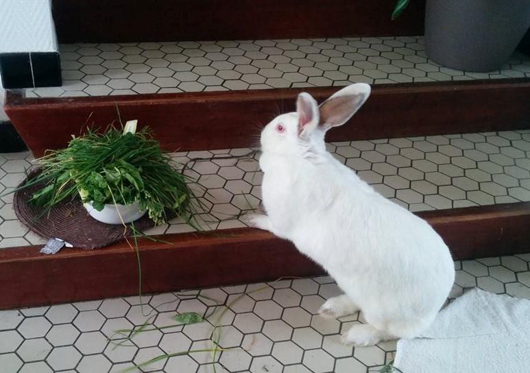 Association White Rabbit- Réhabilitation des lapins de laboratoire - Page 2 888308122085038897438044510934592924065074588134n