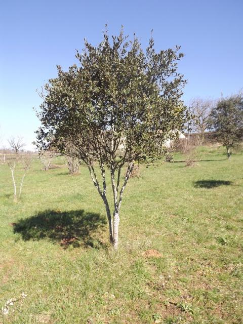Quercus ilex - chêne vert 897778DSCF5011