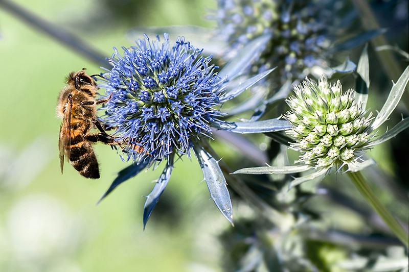 abeille sur chardon bleu 899591Abeillesurchardonbleu
