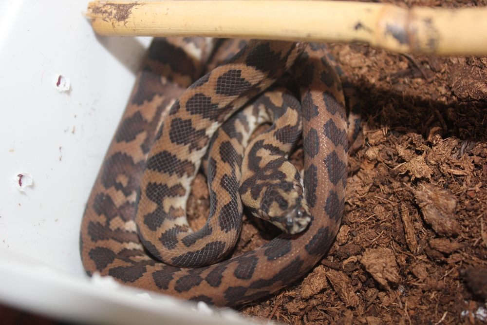 Vends Morelia spilota harrisoni 900943male5