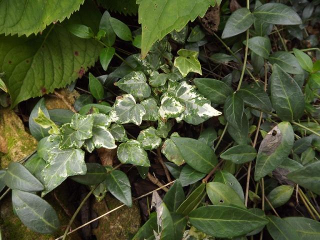 Hedera - lierre - espèces, hybrides horticoles 903453lierre3