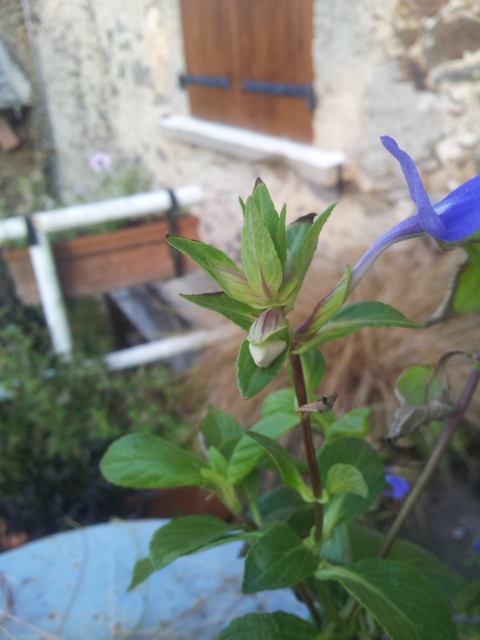 fleur bleue d'une forme peu courante , OTACANTHUS coeruleus (atlantis) 90543420160921081543