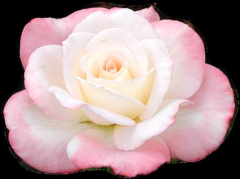 Tubes roses 909042Gibsonlv85