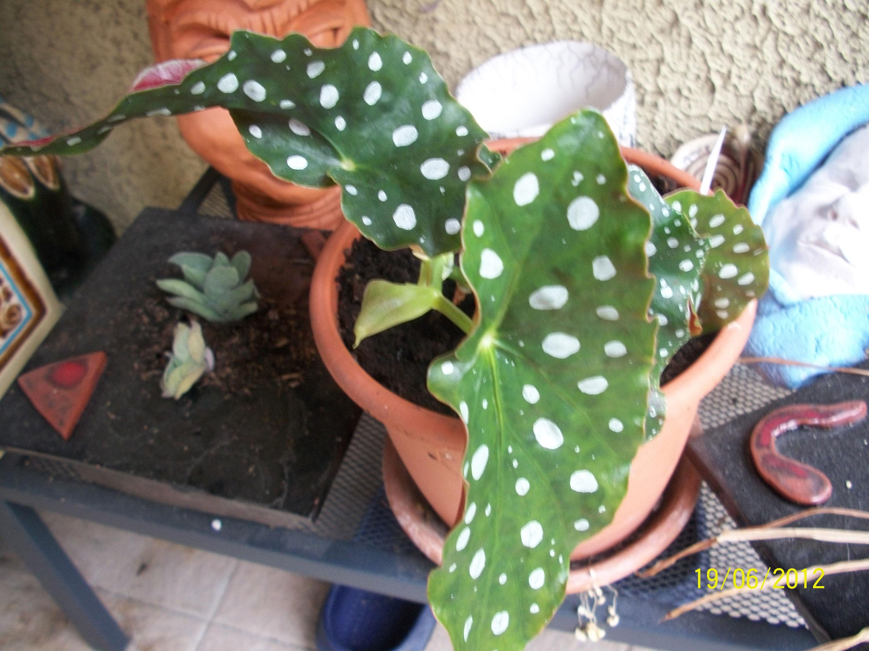 Begonia maculata var wightii  910950begonia