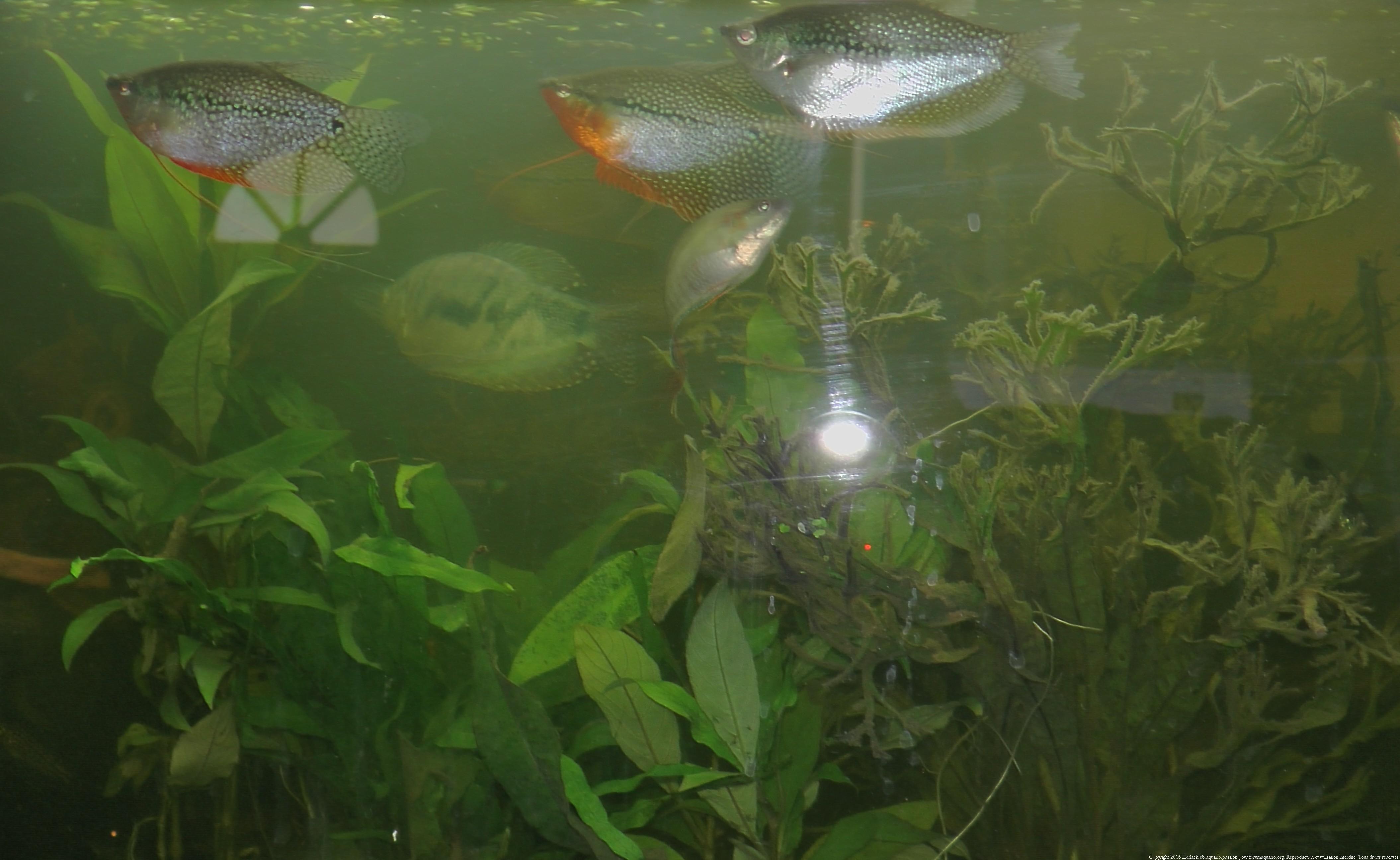 911124GouramiPerl0070 Impressionnant De Bulleur Pour Aquarium Des Idées