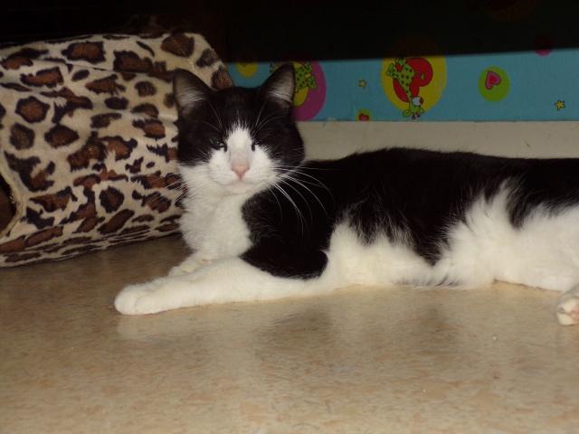 KIT-KAT chat noir et blanc 1 an FIV+ (ADPK 35) 9111891030451