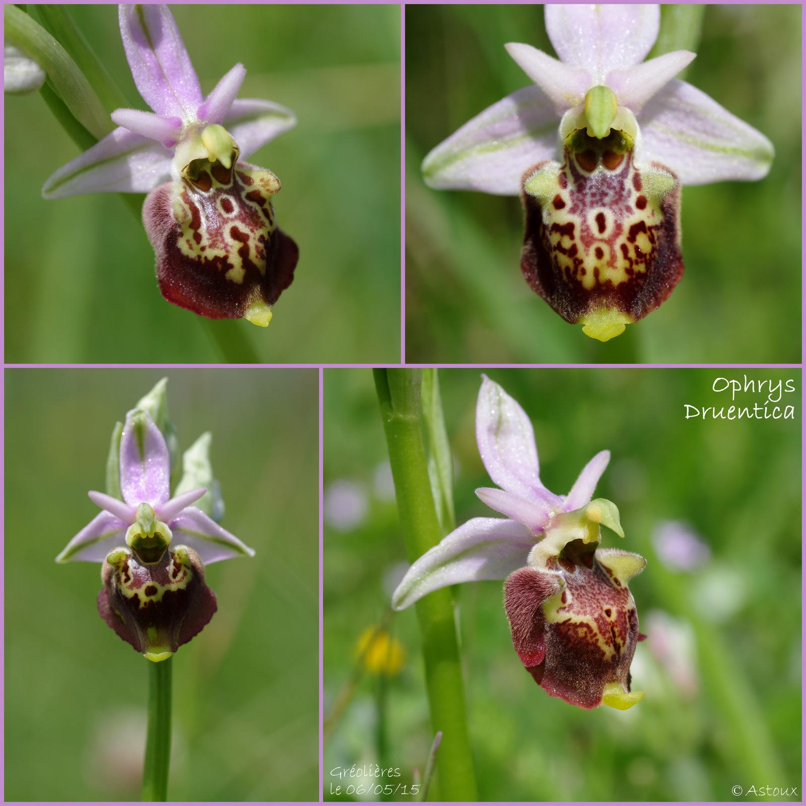 Ophrys druentica (Ophrys de la Durance) 914091SortieOrchides0605151
