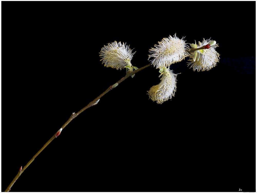 Une branche de Salix  plus une nouvelle photo  914185salix