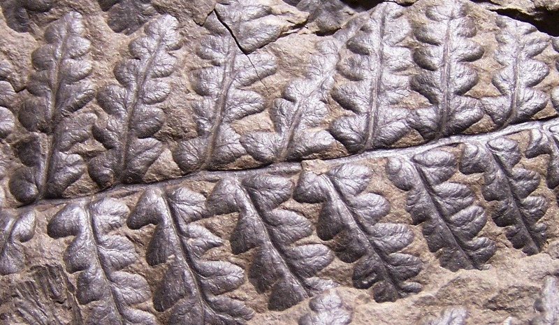 Oligocarpia Goeppert , 1841. 914234CopiadeCopiade1002487