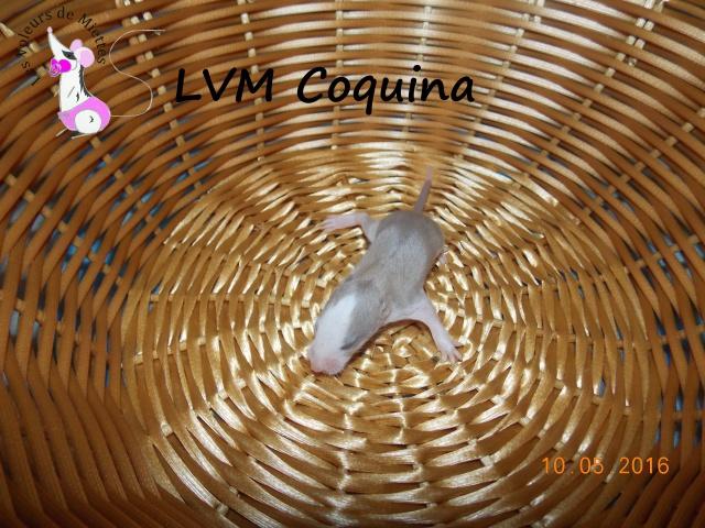 Portée 14: IND Limestone x LVM Kismi Honey 915021femelleminkstandard